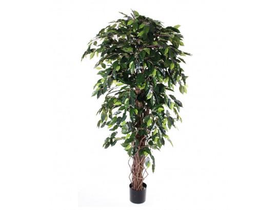 Ficus Benjamini multistrunk
