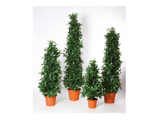 Lorbeersäulenbaum